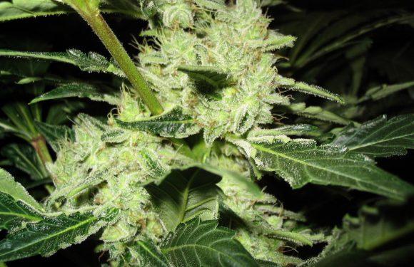 Poznaliśmy nasiona marihuany outdoor?